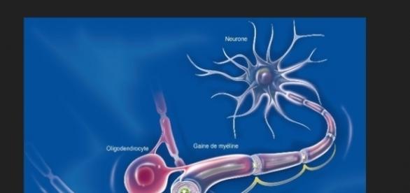 Réparer les fibres nerveuses grâce à la testostérone ? - Faire ... - faire-face.fr
