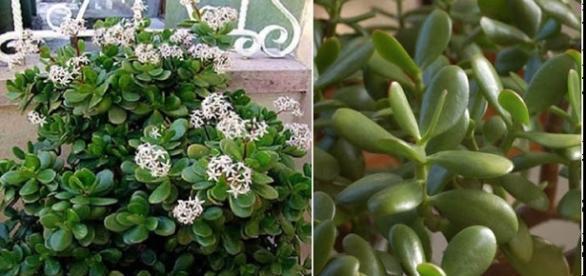 Planta-jade também é conhecida por trazer riqueza para o interior de nossas casas