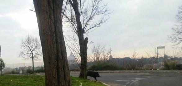 Il cinghiale ha completato il suo tour della Balduina a piazzale Socrate per godere la vista del 'Cupolone'. Foto: Facebook