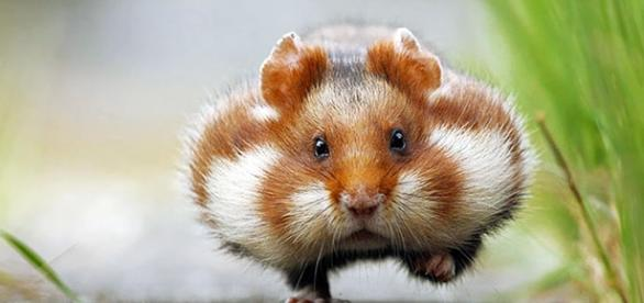 La race des hamsters français semble vouée à l'extinction découlant de la monoculture du maïs
