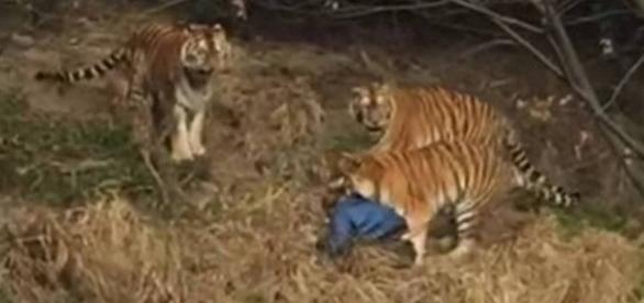Vídeo mostra homem sendo atacado e morto por tigres em zoológico na China