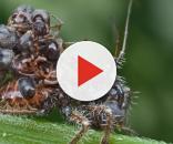 Una ninfa di Acanthaspis petax abilmente 'vestita' da carcasse di formiche da lei uccise (Ph. Orionmystery)
