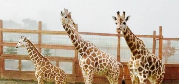 The star giraffes of Animal Adventure Park. [Image Credit: Animal Adventure Park]