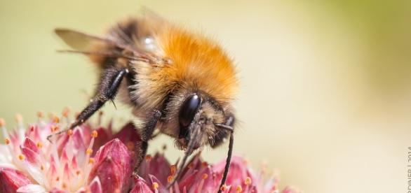 A worker bee perching on a flower. (Image Credit: Flickr / John Gardiner)
