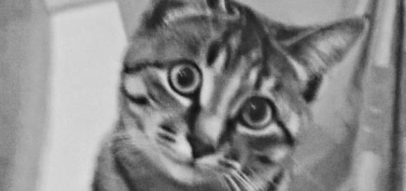 Ecco Kay, la mia gattina di razza europea.