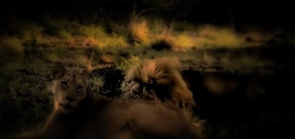 Kruger Natioal park Lions natures brutal ways - image own work Flowers J