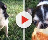 Cachorro come o próprio dono nos EUA