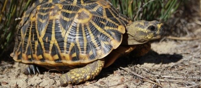 Uma espécie de tartaruga corre contra a extinção