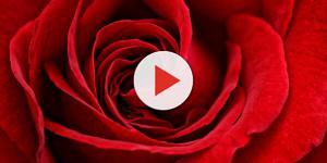 Free photo: Red, Rose, Flower, Close - Free Image on Pixabay - 2463744 - pixabay.com