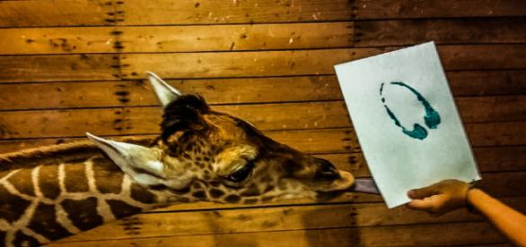 Alf the Giraffe. [Image Credit: Brights Zoo]