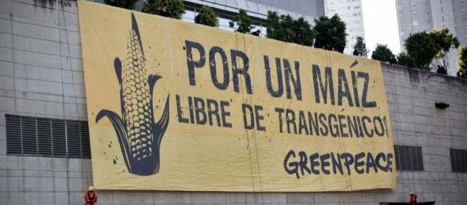 Maíz transgénico: latente amenaza para el campo y los productores