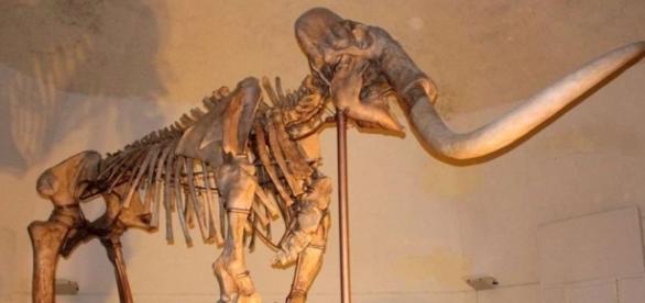 Esqueleto de um mamute pré-histórico mantido no Museo Nazionale d'Abruzzo, na Itália.