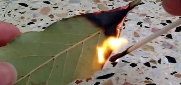 Queimar folhas de louro traz benefícios