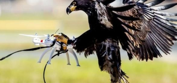 Eagles trained to take down drones - BBC News - bbc.com