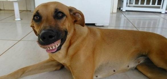 Cachorra encontra dentadura e viraliza na internet com sorriso estranho