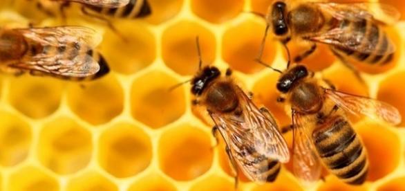 Miel - proconso.ca, abeille sur cadre