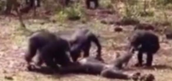 O corpo do chimpanzé foudouku caído após o ataque fatal