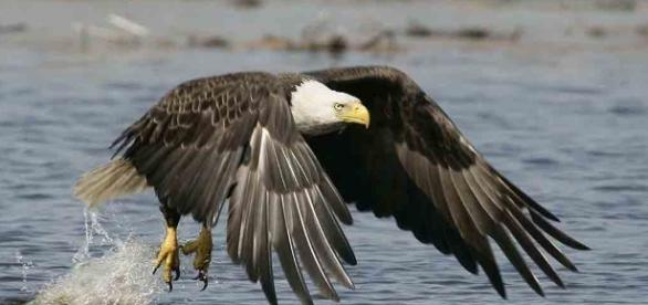 Eagles Across America | National Wildlife Refuge System - fws.gov