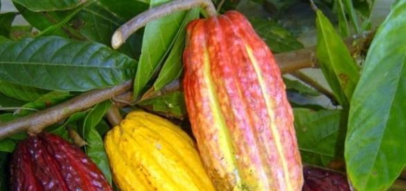 O cacau é o fruto que é transformado em chocolate