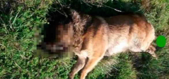 Pastore tedesco trovato seviziato e ucciso nelle campagne salentine