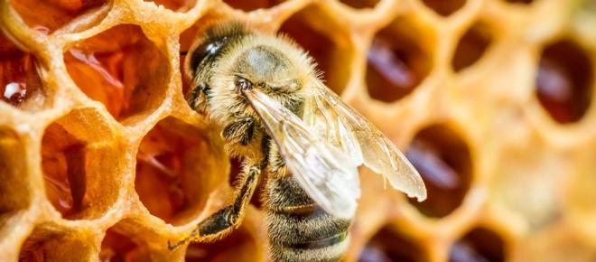 Propolis: das Produkt der Bienen in der Medizin