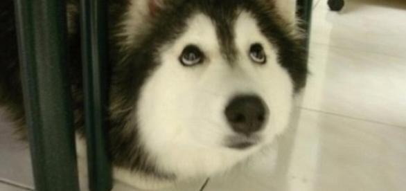 Esse cachorro fala com sua dona como se nada de estranho tivesse acontecido