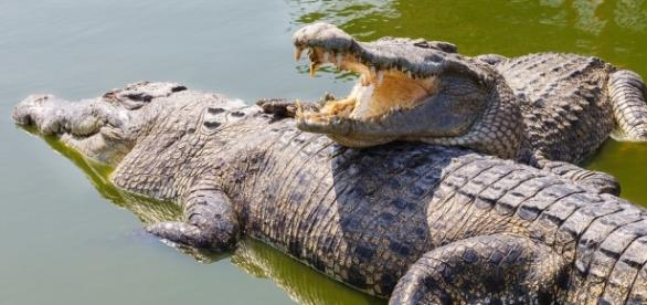 two-crocodiles | Crocs and Gators | Pinterest | Search, Google and ... - pinterest.com