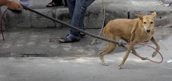 Un accalappiacani cattura un animale randagio.