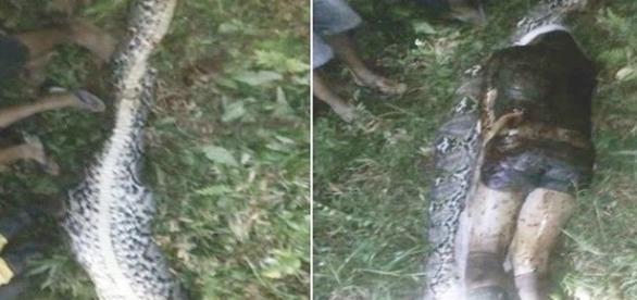 A imagem impressionante mostra o corpo do lavrador ainda inteiro dentro da cobra.