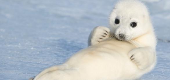 A foca-da-Groenlândia parece um bichinho de pelúcia