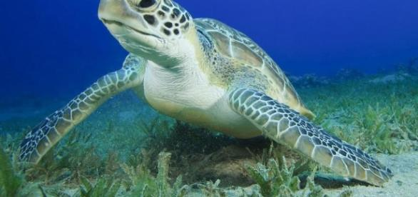 Green Sea Turtle swallowed 900 coins - nationalgeographic.com