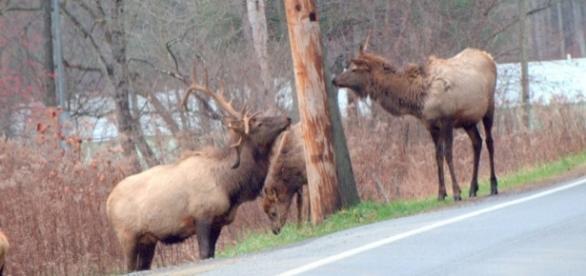 Elk near Punxsutawney PA USA photo by author