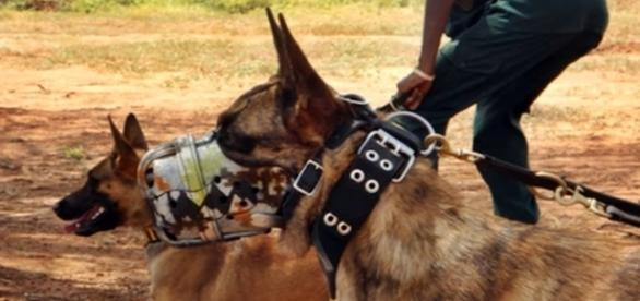 Anti poaching dog training. Image screencap via Daniel Iuga Youtube.com
