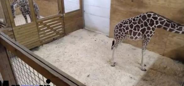 Giraffe watch: April showing more signs of progress   Q13 FOX News - q13fox.com