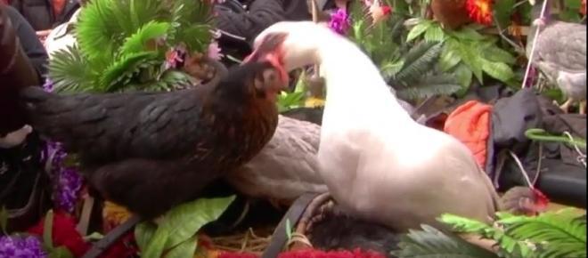 Salerno: l'assurda tradizione della tortura delle galline