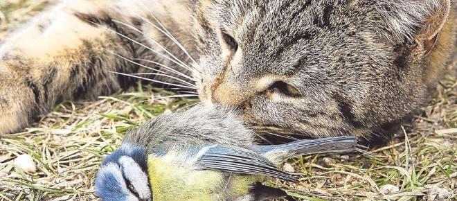 Vogelarten von Katzen bedroht - Was nun?
