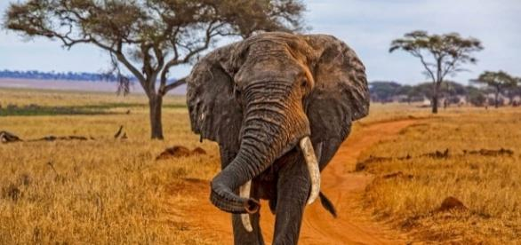 African bush elephant in the Savannah--Noel Feans Wikimedia Commons