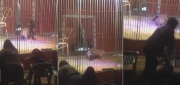 Un leu a sărit la gâtul dresorului în timpul reprezentaţiei - VIDEO ŞOCANT