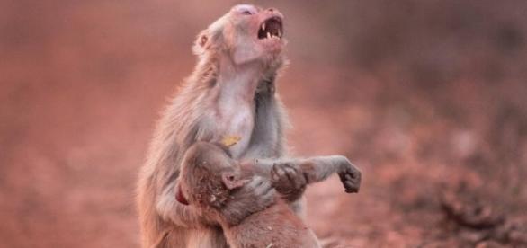 Verzweifelte Affen-Mama hält ihr lebloses Baby in den Armen ... - bild.de