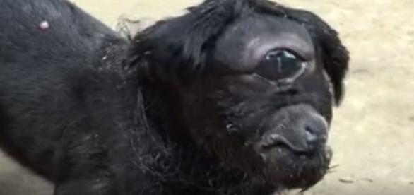 Portadora de bizarra condição genética, cabra intriga indianos (Barcroft Animals)