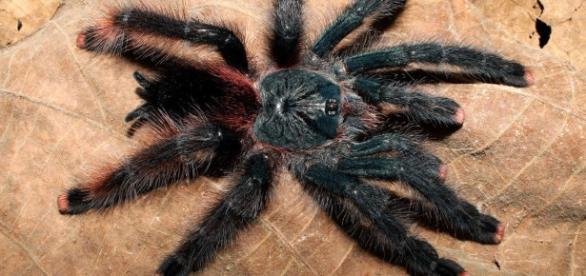 Aranhas comendo pássaros? Isso é o que foi descoberto por alguns pesquisadores