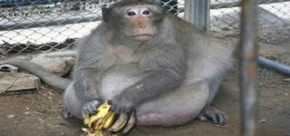 Apelidado 'Tio Fat', macaco impressiona pelo tamanho da barriga (India Today)