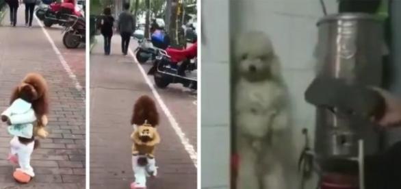 A triste história dos cachorros que andam em duas patas. Saiba o maus tratos por trás do treinamento.