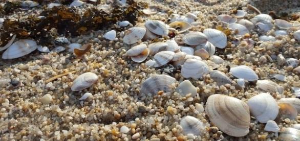 Clams on the beach, Pixabay https://pixabay.com/en/clam-sea-sand-beach-sandy-2197375/
