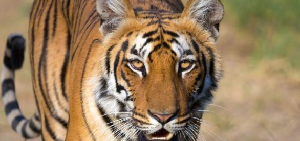 A tiger entered an enclosure and a female keeper died at the scene.