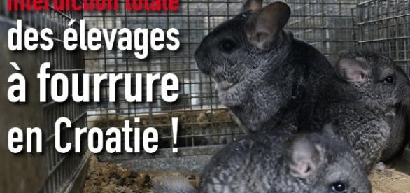 http://one-voice.fr/fr/blog/la-croatie-interdit-les-elevages-a-fourrure.html