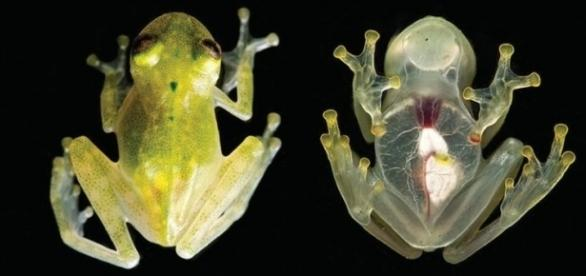 Named Hyalinobatrachium yaku, these tiny amphibians are as transparent as glass. Photograph courtesy of: J. M. Guayasamin et al., 2017/ZooKeys