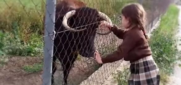 Vaca Margarita foi condenada a morte. (Foto divulgação internet)