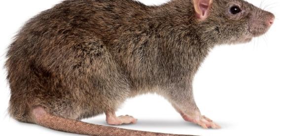 Peste bubônica pode ser transmitida por roedores