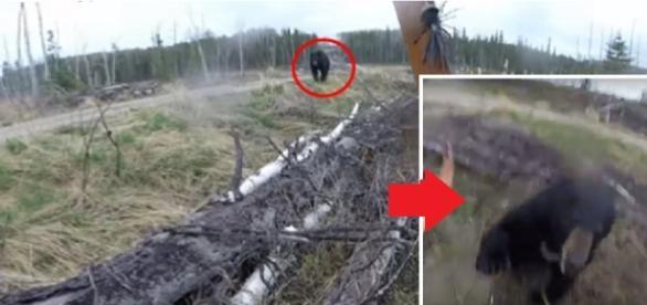 Vídeo flagra ataque de urso selvagem